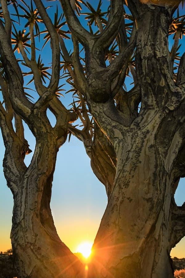 Den härliga afrikanska solnedgången skiner hofilialer av darrningträdet arkivbilder