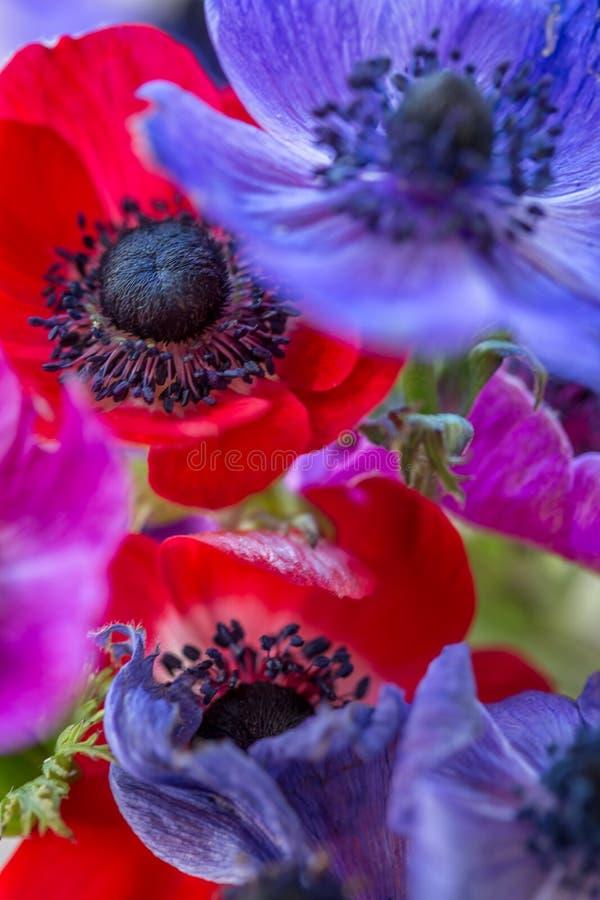 Den härliga anemonen blommar mång- färgat royaltyfri foto