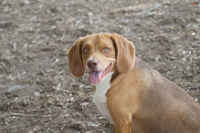 Den härliga beaglet royaltyfria foton