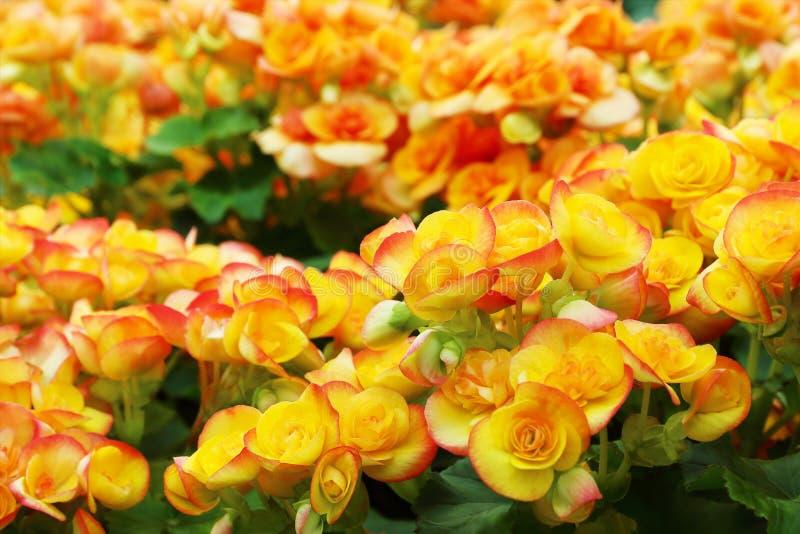 den härliga begonian blommar för modell och bakgrund arkivbild