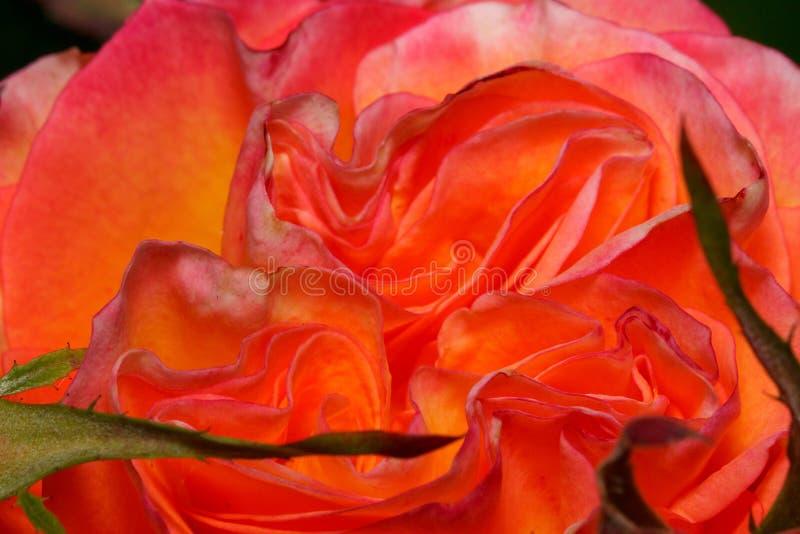 Den härliga bicolour rosen växer på en grön äng Levande natur arkivbilder