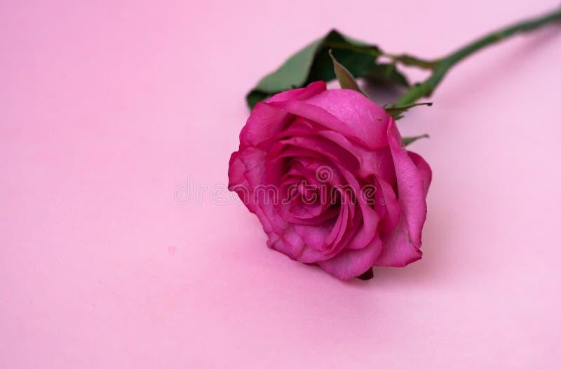 den härliga blomman av rosa färger steg på en rosa bakgrund royaltyfri foto