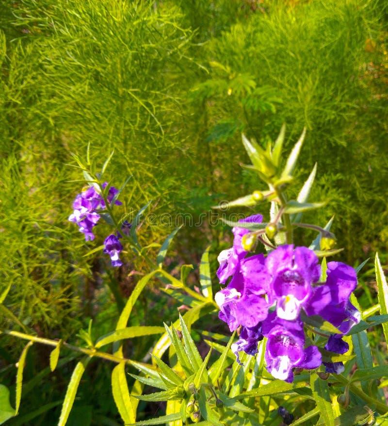 Den härliga blomman med purpurfärgade kronblad och fördelade lite vit färg i mitt royaltyfri bild