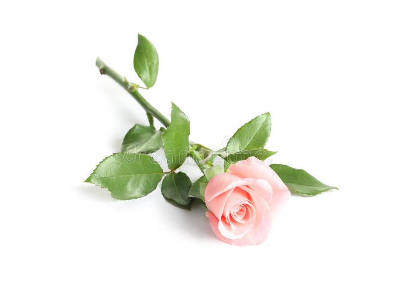 den härliga blomman steg royaltyfria bilder