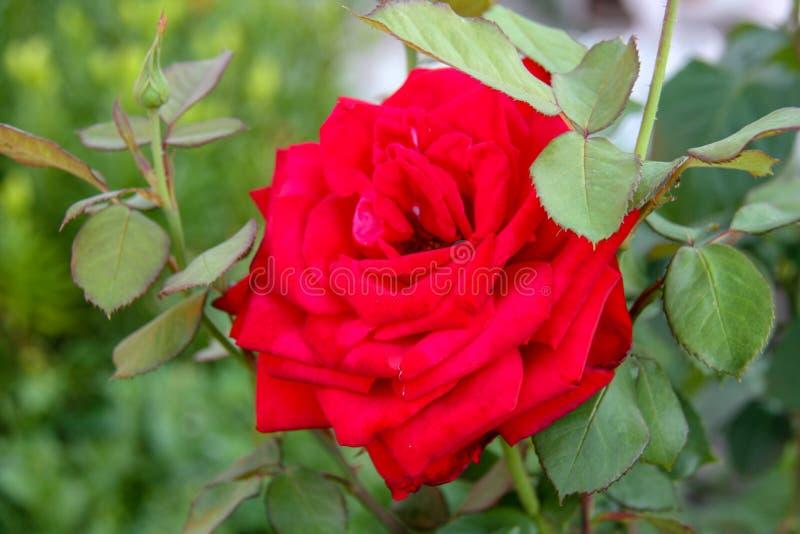 den härliga blomman steg royaltyfri bild