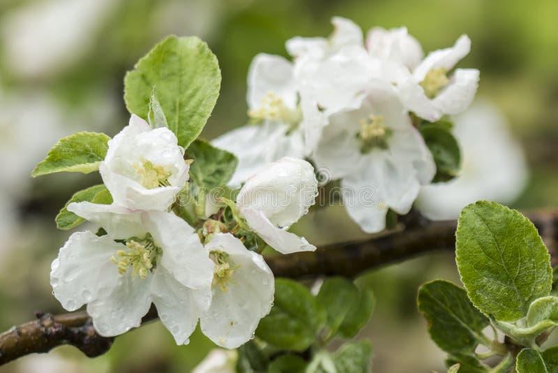 Den härliga blommande äppleträdfilialen med regn tappar royaltyfria bilder