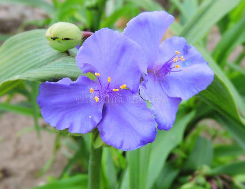 den härliga blueclosen blommar upp royaltyfria foton