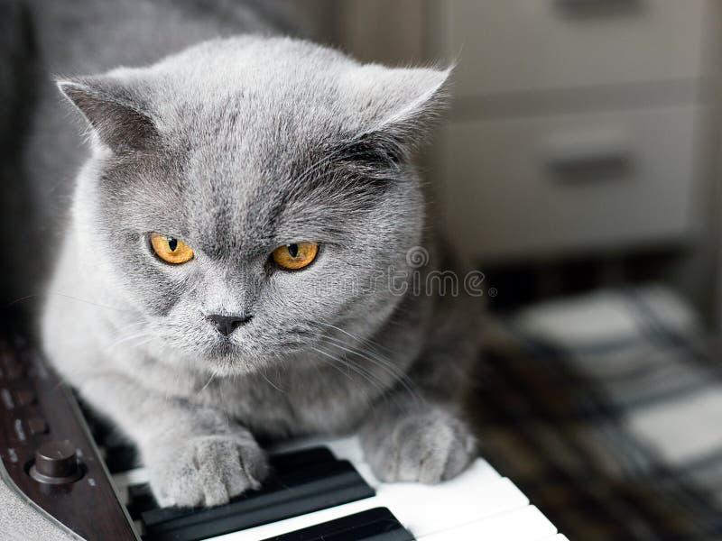 Den härliga brittiska gråa katten sitter på tangenterna av ett piano, närbildståenden, stora gula ögon arkivbild