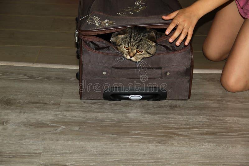Den härliga brittiska katten försöker att få ut ur resväskan arkivfoto