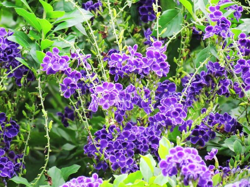 Den härliga buketten av den Duranta erectaen eller himmelblomman, guld- daggdroppe, duvabäret, lila blommar att blomma i trädgård arkivbild