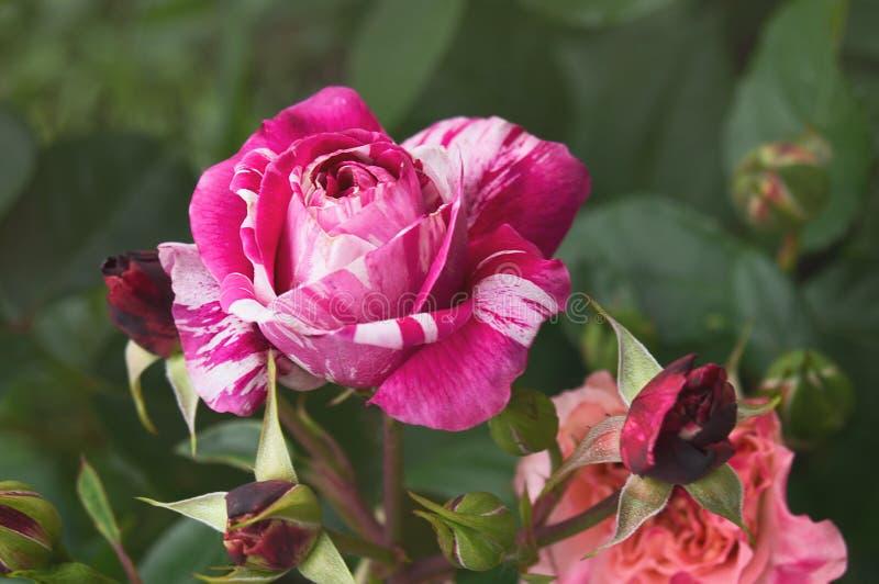 Den härliga busken blommar, röd vit gjorde randig trädgårds- rosor under solljus på naturgräsplanbakgrund för kalendern arkivbilder