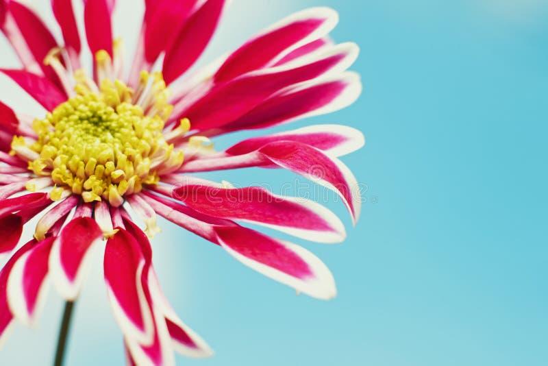 den härliga chrysanthemumen blommar fjädern arkivbild