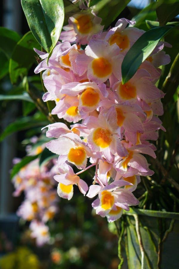 Den härliga Dendrobiumthyrsiflorumorkidén i trädgården med morgonsolsken, rainforestorkidén för hög höjd kallade gemensamt royaltyfria bilder