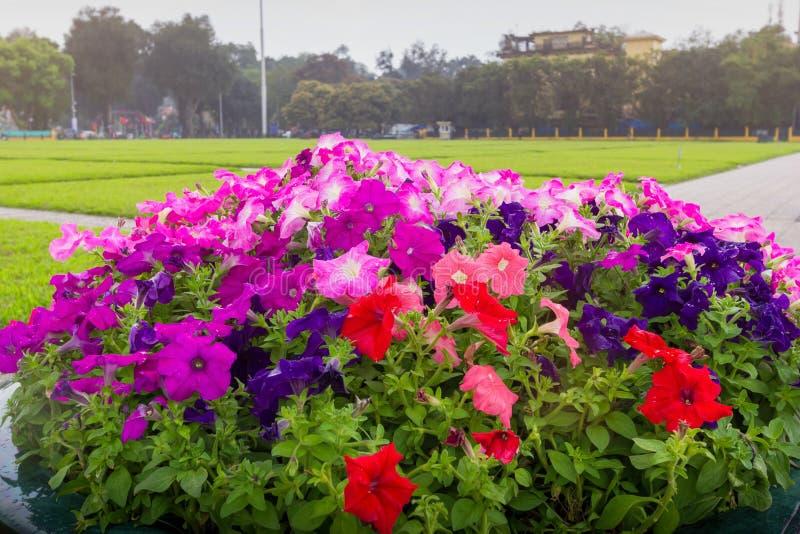 Den härliga färgrika petunian blommar att plantera i blomkrukan arkivbild