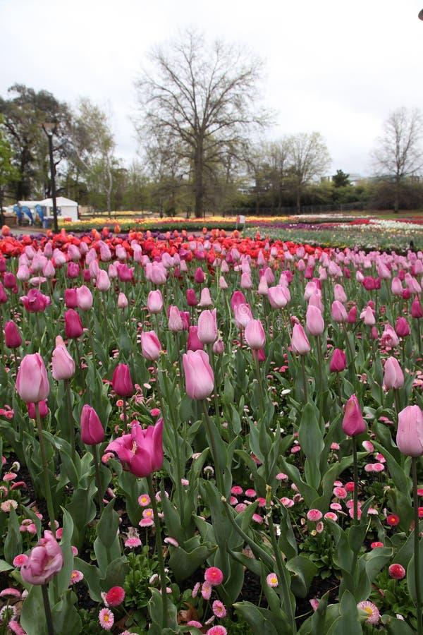 Den härliga färgrika tulpan blommar Floriade royaltyfri foto