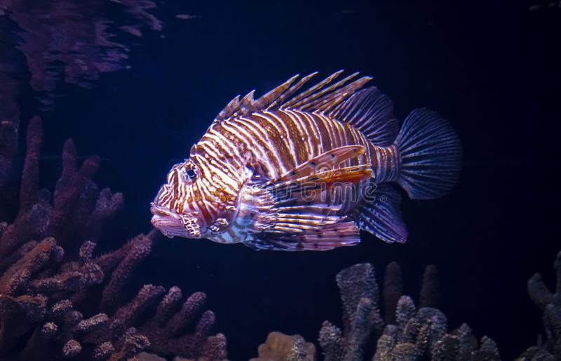 Den härliga fisklionfishen, är hon en lejonfisk, bor i Röda havet arkivfoto