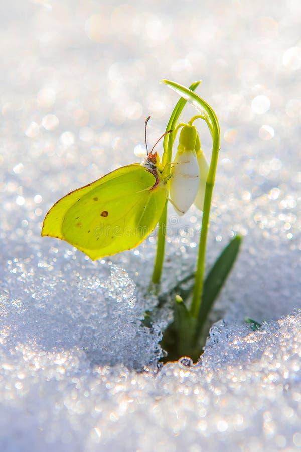 Den härliga fjärilen klättrar upp första snödroppeblommor som ut kommer från verkligt insnöat den ljusa solen som är vertikal arkivbilder
