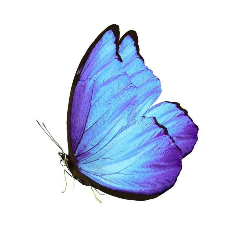 Den härliga fjärilen med blått påskyndar och tafsar bakgrund isolerad white royaltyfri fotografi