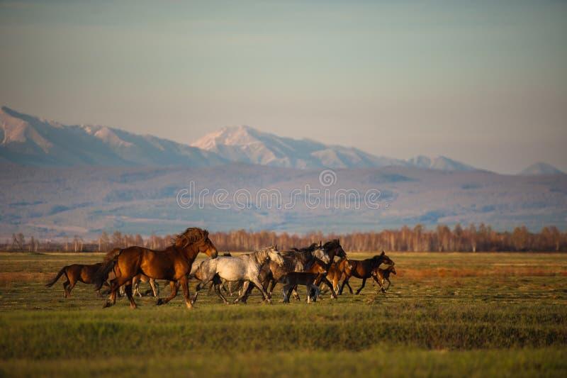 Den härliga flocken för fjärdhästen betar i bergen på solnedgången, solig naturlig bakgrund för fantastisk hipster fotografering för bildbyråer
