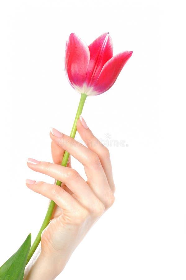 den härliga fransmannen hands manicuretulpan royaltyfri bild