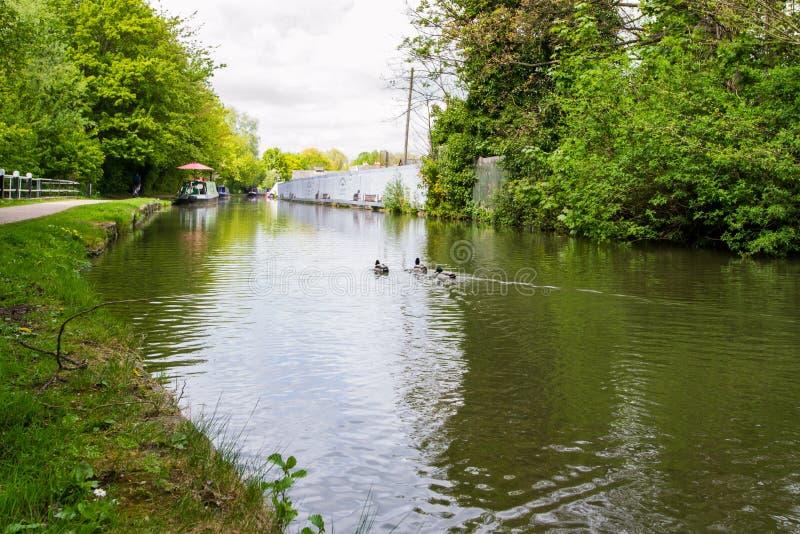 Den härliga gräsandet duckar i floden Avon, badet, England royaltyfria bilder