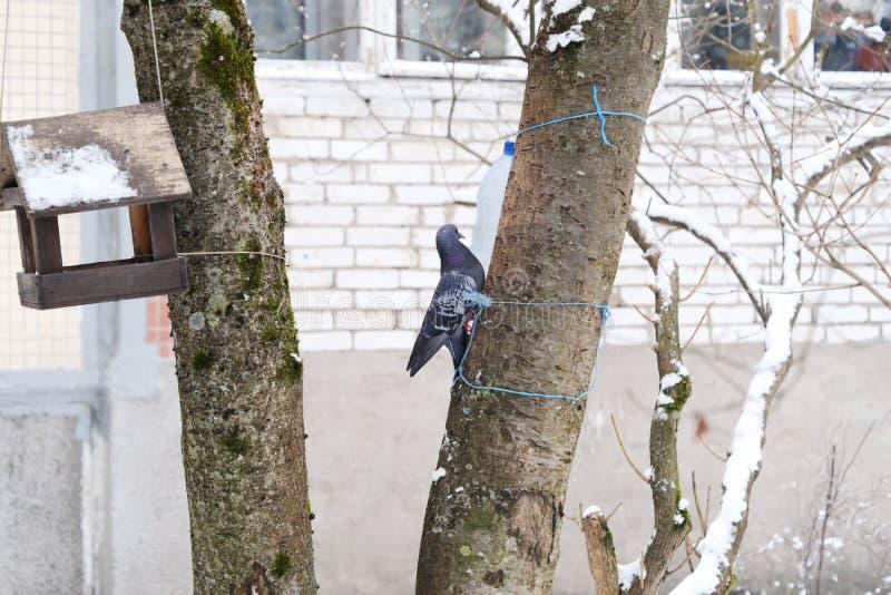 Den härliga grå färgduvan sitter på ett träd i vinter royaltyfri bild
