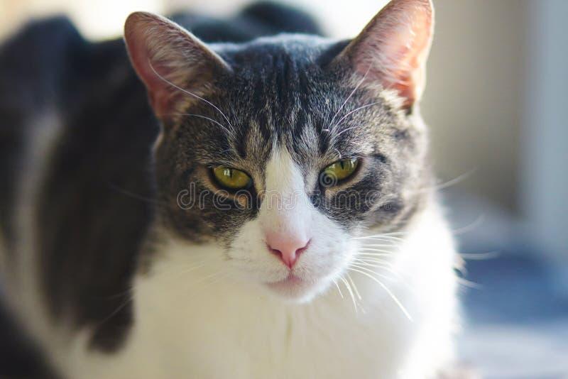 Den härliga gråa katten med guling-gräsplan ögon ligger fotografering för bildbyråer