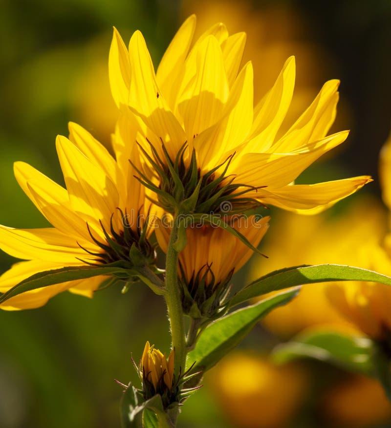 Den härliga gula blomman i parkerar royaltyfria foton