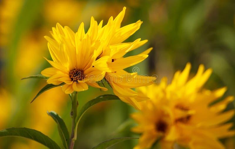 Den härliga gula blomman i parkerar arkivbilder