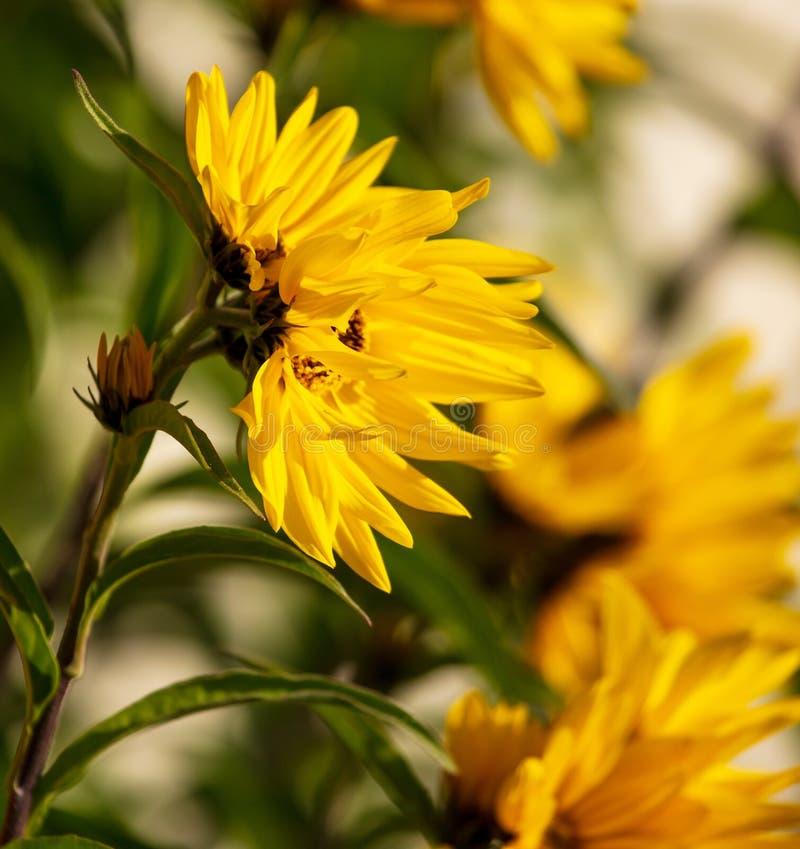 Den härliga gula blomman i parkerar arkivfoton