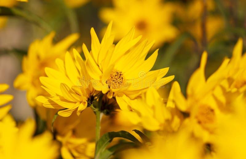 Den härliga gula blomman i parkerar royaltyfria bilder