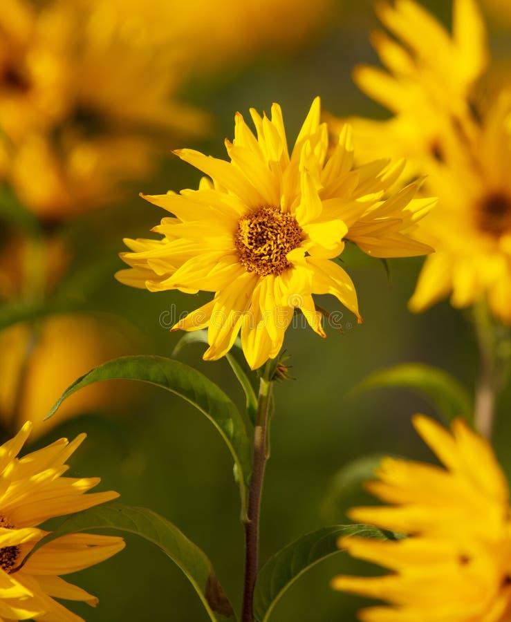 Den härliga gula blomman i parkerar royaltyfri foto