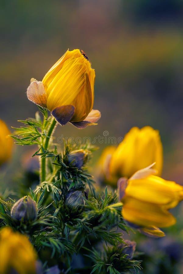 Den härliga gula blomman sköt med en makrolins upp slut med ett litet fel på spetsen av kronbladen arkivfoto
