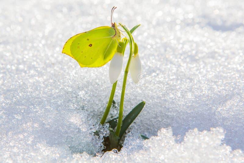 Den härliga gula fjärilen sitter på den första vårsnödroppeblomman som ut kommer från verklig snö arkivbild