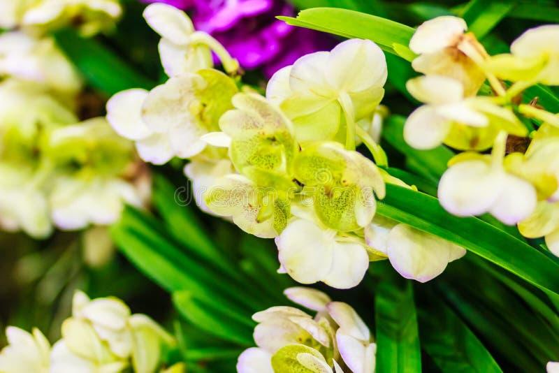 Den härliga gula orkidéblomman, den Vanda blanden blommar Gul skåpbil royaltyfria bilder