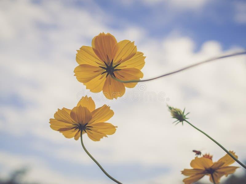 Den härliga gula starshipen blommar i den trädgårds- bakgrunden för blå himmel, tappningfilter arkivfoto