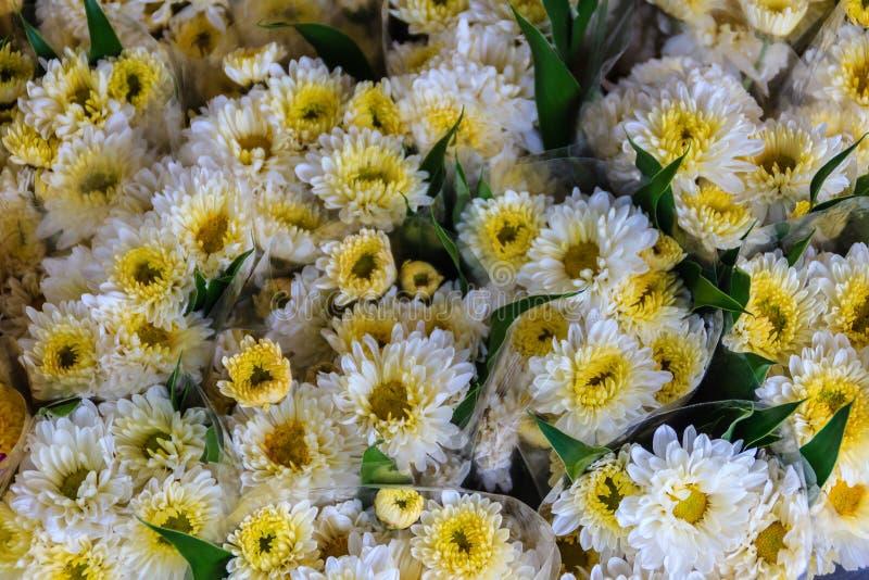 Den härliga guling- och vitkrysantemumet blommar som bakgrund p arkivfoto