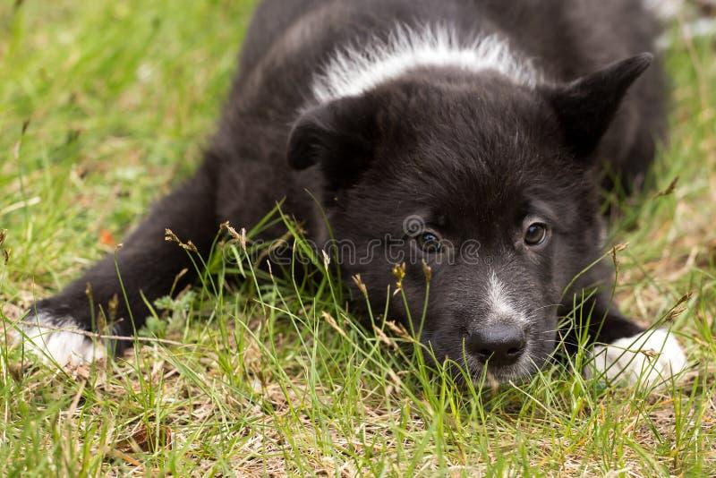 Den härliga gulliga ledsna svartvita valpen ligger i gräscloseupen royaltyfria bilder