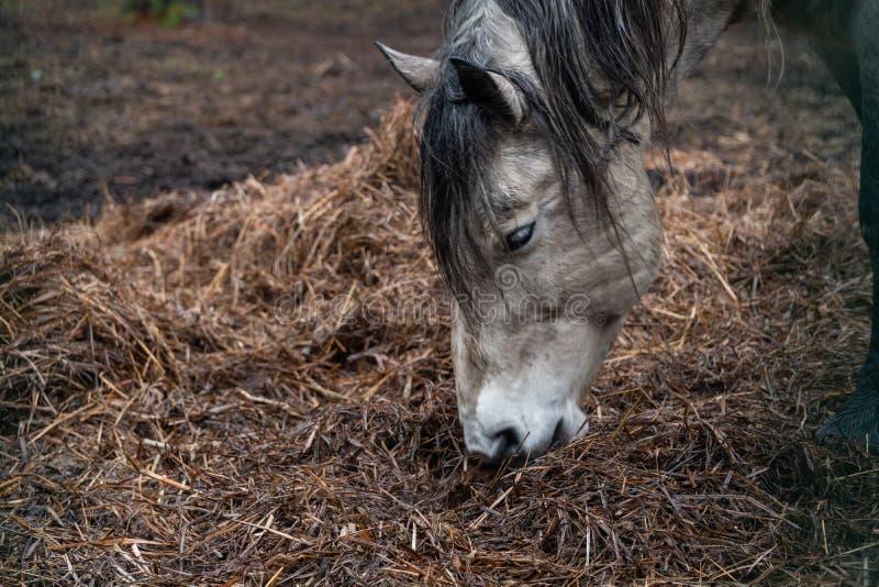 Den härliga hem- vita hästen äter hö royaltyfri foto