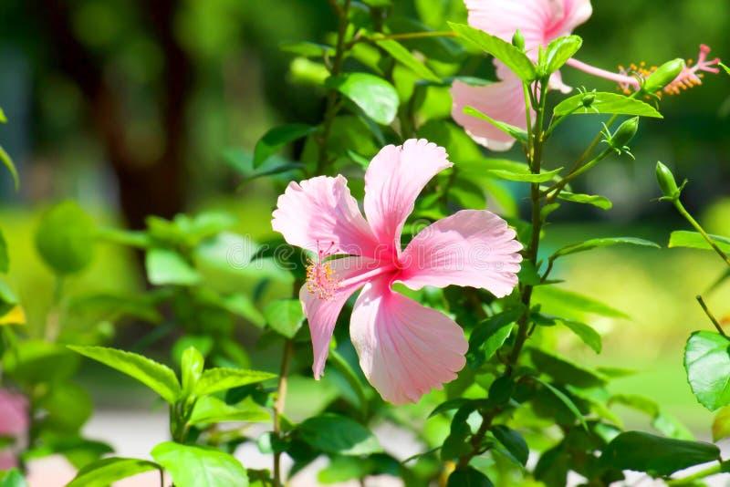 Den härliga hibiskusen rosa-sinensis med solljus i trädgård, rosa färg blommar royaltyfria bilder