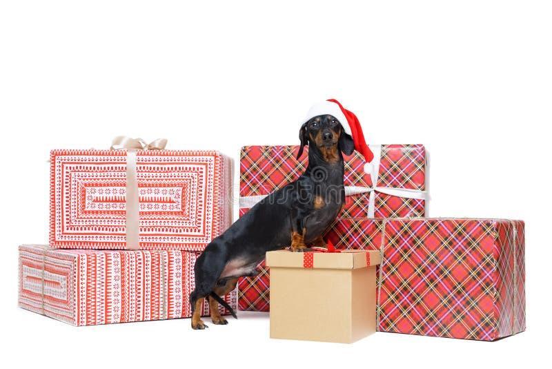 Den härliga hundaveltaxen, svart och solbränt, i ett rött Santa Claus lock, står på till askar för en buntjulgåva som isoleras på arkivfoto