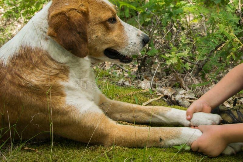 Den härliga hunden som ligger i gräset, och händerna av ett barn rymmer det vid dess tafsar arkivfoton