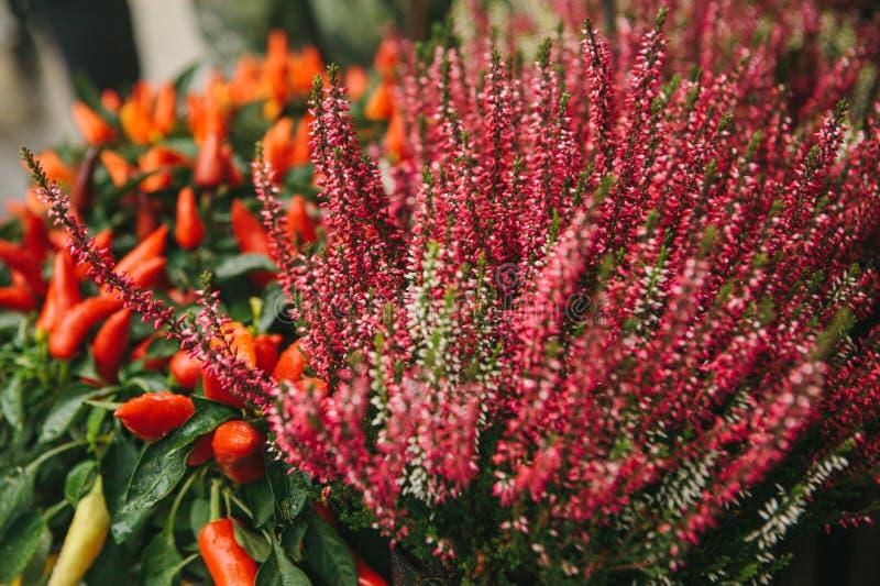 Den härliga kallade den vulgaris knospenheiden och callunaen och paprikan för rosa färg- och lilablommor också dekorativa peppar  royaltyfri fotografi