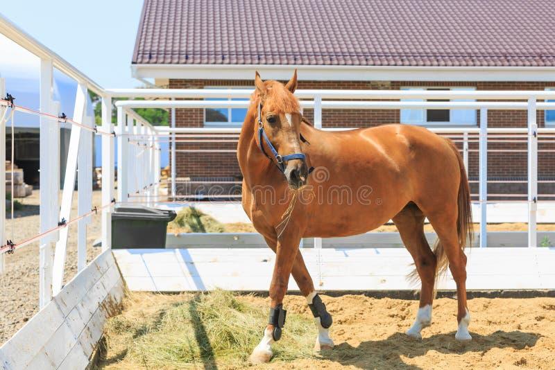 Den härliga kastanjebruna färghästen äter hö i paddockslutet av stallet royaltyfria foton