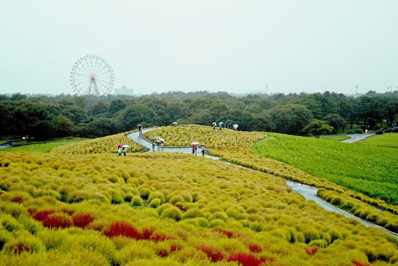 Den härliga kochiaskullen i höstsäsong på den Hitachi sjösidan parkerar royaltyfri bild