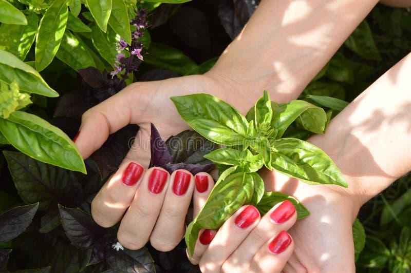den härliga kvinnlign räcker den hållande nya skörden av basilika i trädgården royaltyfri foto