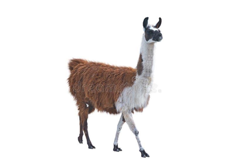 Den härliga laman royaltyfria bilder