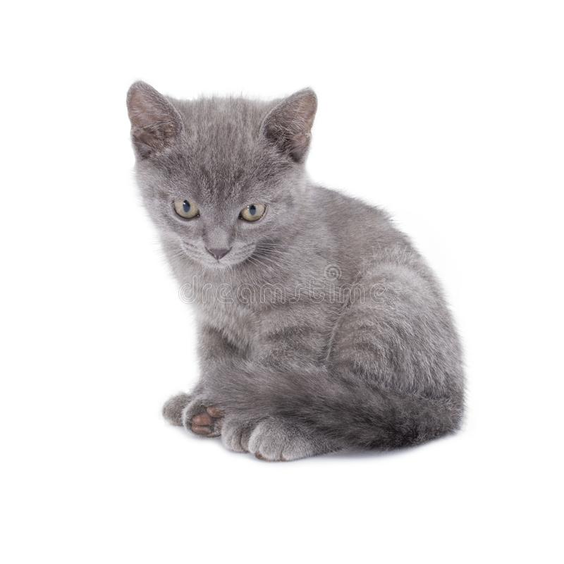 Den härliga liggande lilla blåa katten isoleras på en vit bakgrund royaltyfri fotografi