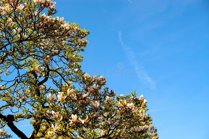 Den härliga lilablomningmagnolian blommar på magnoliaträdet a royaltyfri bild