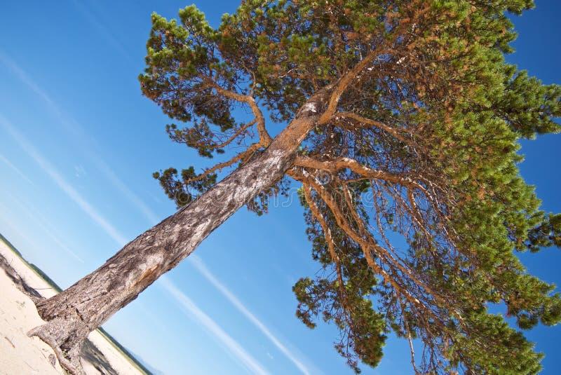 Den härliga ljusa evergreen sörjer på den vita sandiga kusten arkivfoton